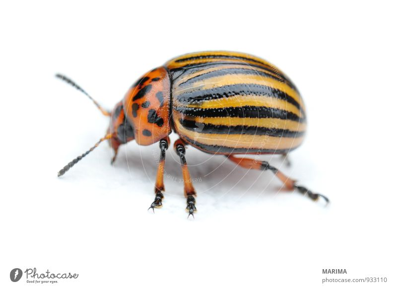 Potato bug Nature Animal Beetle Crawl Brown Yellow Black leaf beetle chrysomelidae Elytron Grand piano Feet Feeler Striped Gold Insect Potatoes Potatoe blossom