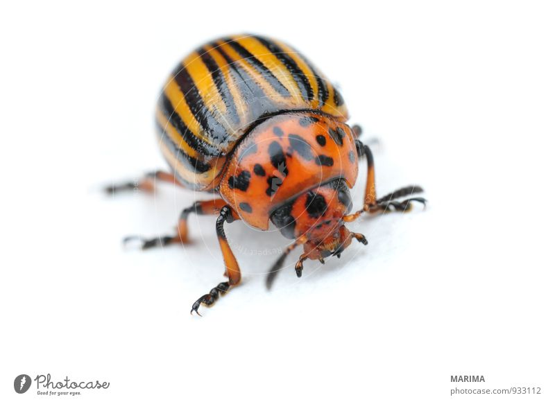 Potato bug Nature Animal Beetle Crawl Brown Yellow Black leaf beetle chrysomelidae Elytron Feeler Striped Gold Insect segregated Potatoes Potatoe blossom