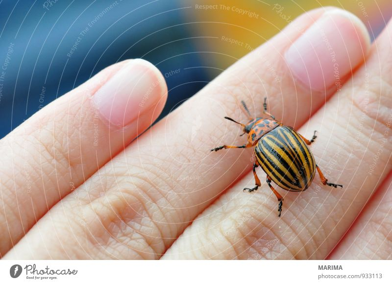Potato bug Woman Adults Hand Fingers Nature Animal Beetle Crawl Brown Yellow Black leaf beetle chrysomelidae Feeler Striped Gold Insect Potatoes Potatoe blossom