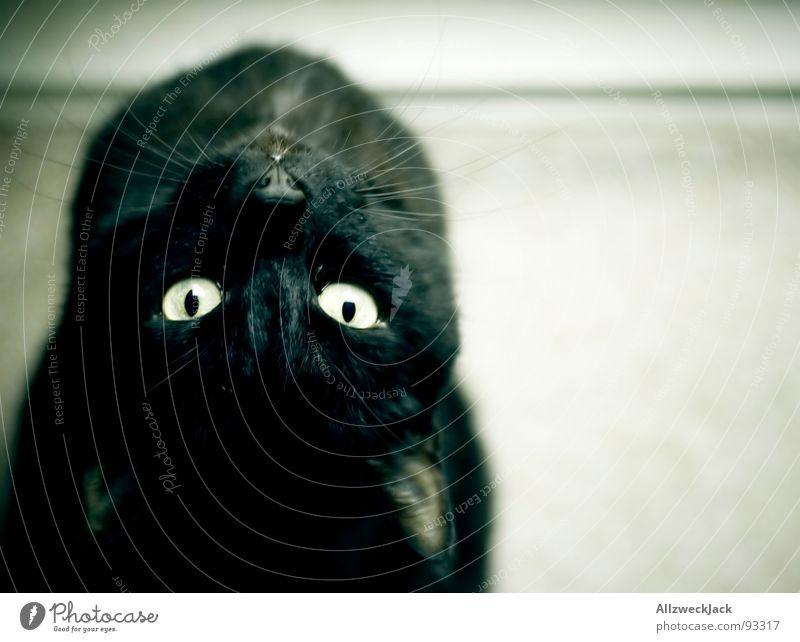 Beautiful Black Cat Wait Dangerous Clean Observe Curiosity Mammal Pet Acrobat Domestic cat Acrobatics Bend Whisker Chat