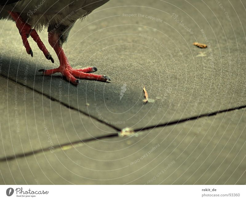 Red Joy Feet Air Dance Bird Going Walking Feather Traffic infrastructure Pigeon Voracious Bothersome