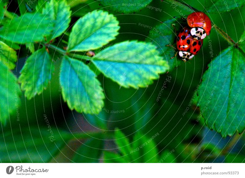Red Summer Animal Leaf Spring Happy Jump Funny Pair of animals Transport In pairs Bushes Point Animalistic Lust Ladybird