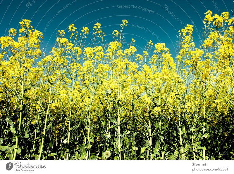 again_raps Canola Plant Yellow Green Spring Field Canola field Agriculture Honey Bee Blossom Flower Ecological Tracks Border Forest path Footpath Meadow