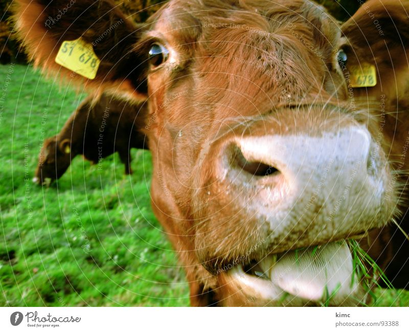 Meadow Brown Farm Cow Pasture Mammal Tongue Snout Animal Milk Cattle Ruminant