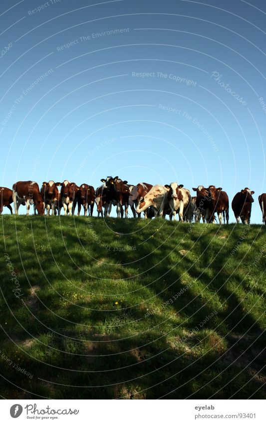 Curious dike dwellers Cow Plain Boredom Curiosity Accumulation Touch Together Dike Meadow Grass To feed Fresh Looking Voyeuristic Pelt Green Animal Mammal Udder