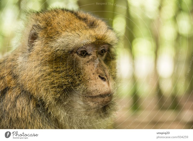 just thinking Nature Forest Beard Hair Animal Barbary ape Monkeys 1 Observe Think Feeding Looking Sit Dream Calm Timidity Adventure Expectation Serene Society