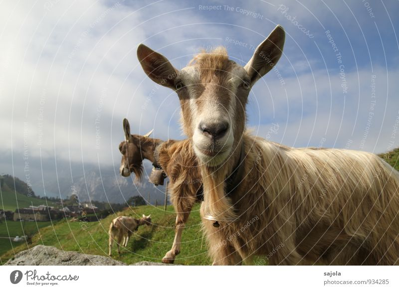 goat tin Environment Nature Landscape Animal Sky Clouds Autumn Farm animal Mammal Goats 3 Group of animals Looking Curiosity Bell To feed Colour photo
