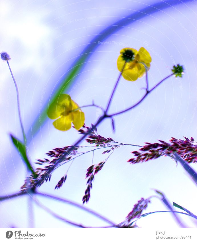 Nature Plant Sun Yellow Meadow Blossom Field Europe Blossoming Stalk Poison Root Roadside Stamen Medicinal plant Weed