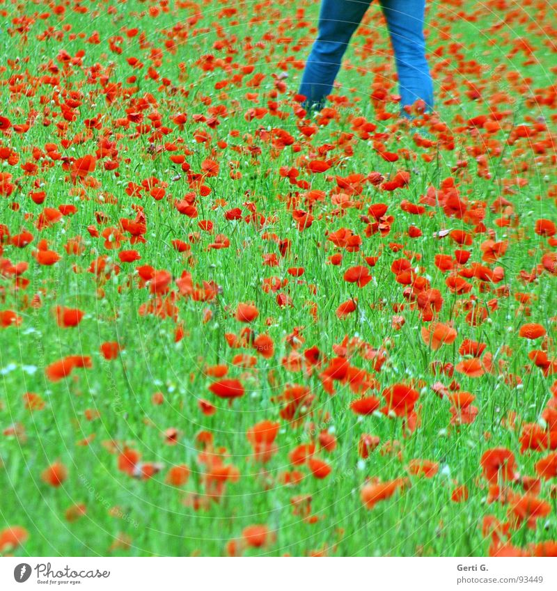 walkin' on the mohn Corn poppy Flower Blossom Plant Poppy Red Poppy blossom Summer Green Multicoloured Denim blue Going Flower meadow Jeans Grass Field Clothing
