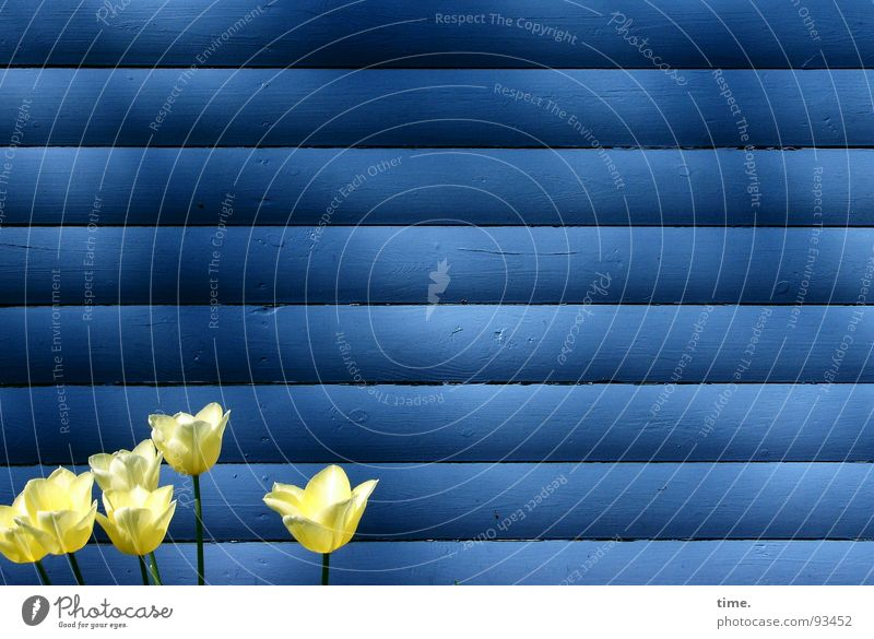 Standing around in front of a board wall Wall (building) Tulip Yellow Horizontal 6 Light Spring Small Blue Shadow Contrast Colour