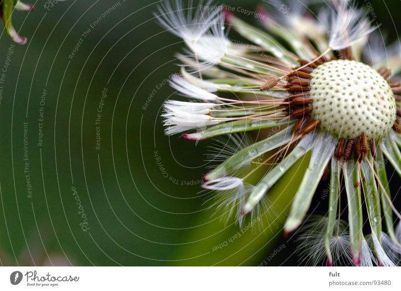 Nature Flower Plant Empty Dandelion Hollow Pore Blown away