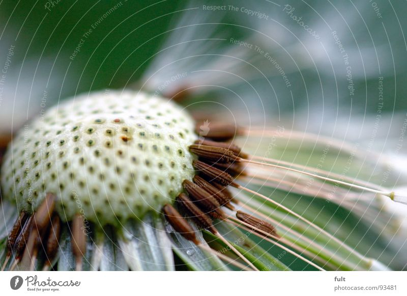 Nature Flower Plant Empty Dandelion Hollow Pore Blown away