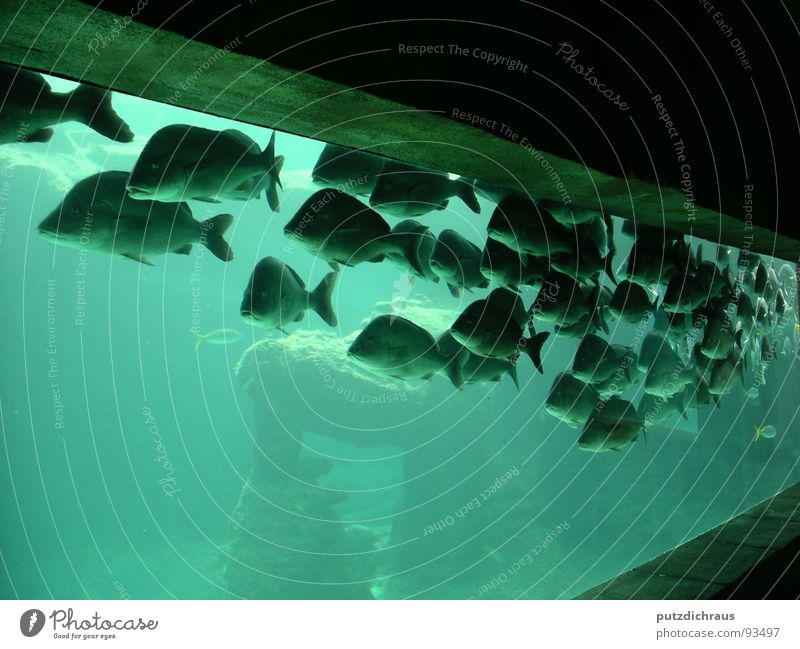green fish Ocean Aquarium Green Sea water Lake Fish Water Blue Flock Underwater photo