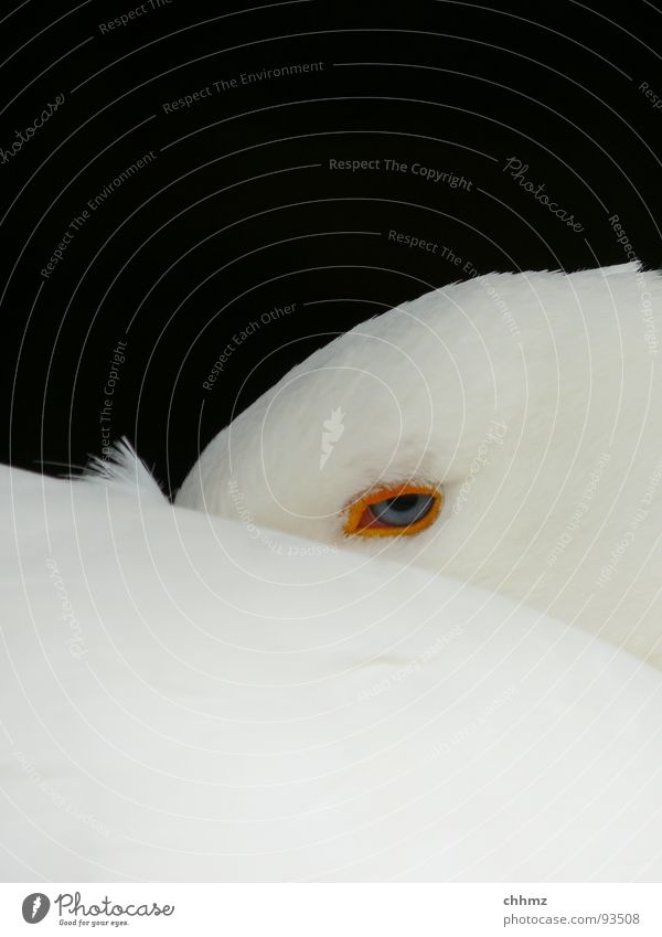 be careful Goose Beak Curiosity Dangerous Worm's-eye view Downy feather Watchfulness Looking White Bird Neck Feather down Button eyes. sleepy Fatigue Eyes