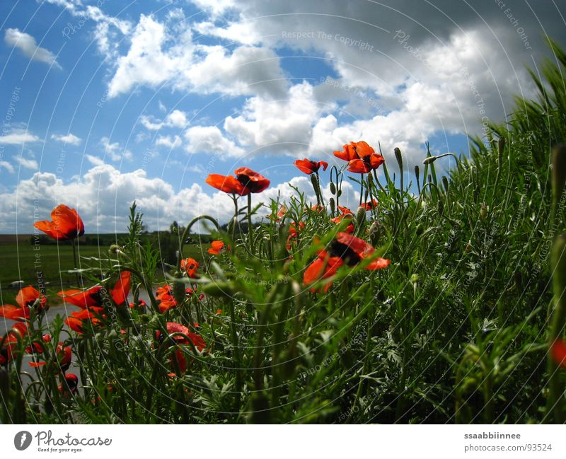 HeadHigh Spring Sky blue Good mood Weekend after the rain poppy-seed red cloud driving spring sunny day Nature
