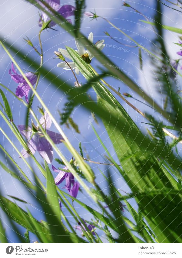 From bottom to top Flower Grass Meadow Clouds Summer Fresh Green Violet Under Sky Wind Blue Nature Perspective Above