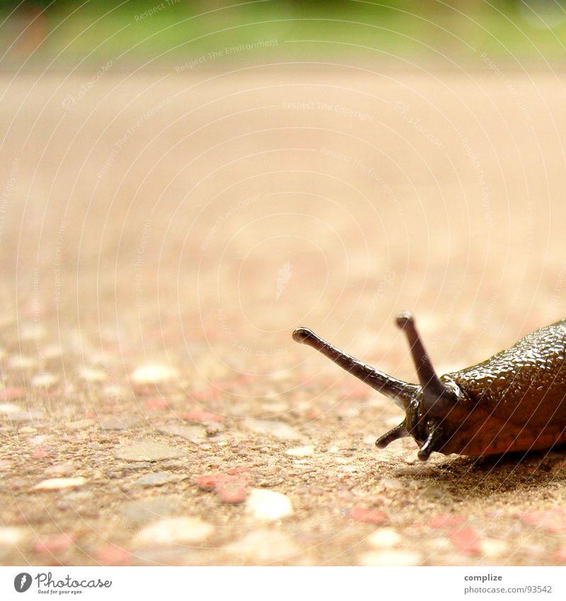 Naked snail or slug Slow motion Slug Brown Speed Feeler Mucus Suck-up Animal Slowly Yawn Sleep Hiking Sporting event Competition Crumpet straighten