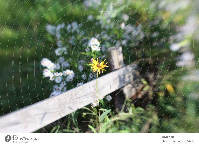 zaungast Nature Plant Foliage plant Garden Park Growth Multicoloured Yellow White Happiness Power Adventure Freedom Happy Lonely Exclusion Loneliness Fence