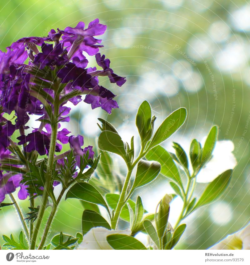 lilac green in harmony Violet Green Flower Plant Garden Bed (Horticulture) Growth Flourish Blossom Beautiful Terrace Spring Park verbena Nature Blossoming