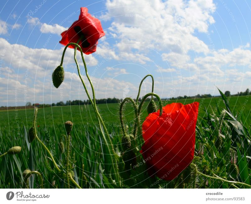 poppy Poppy Intoxicant Clouds Horizon Propagation Spring Grain heaven Blue red. bristles Blossoming Seed Tilt