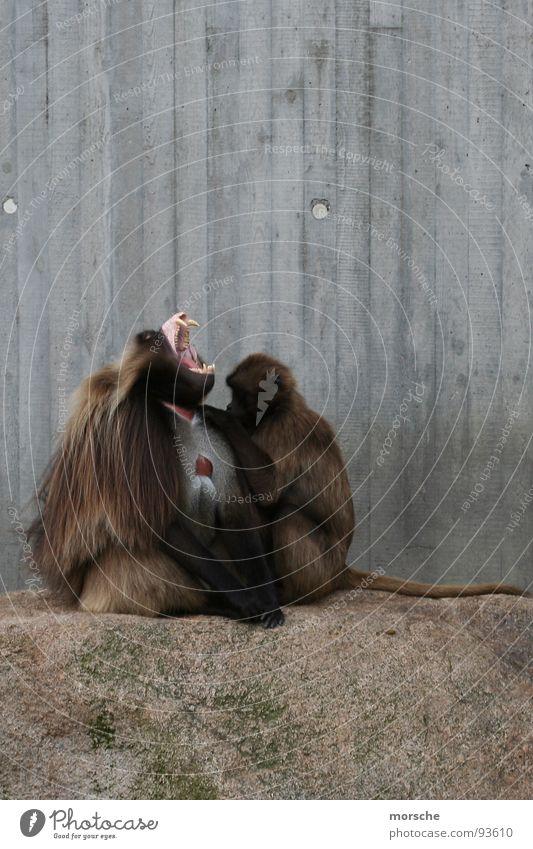 Wood Gray Stone Brown Open Set of teeth Scream Pelt Zoo Mammal Monkeys Fang