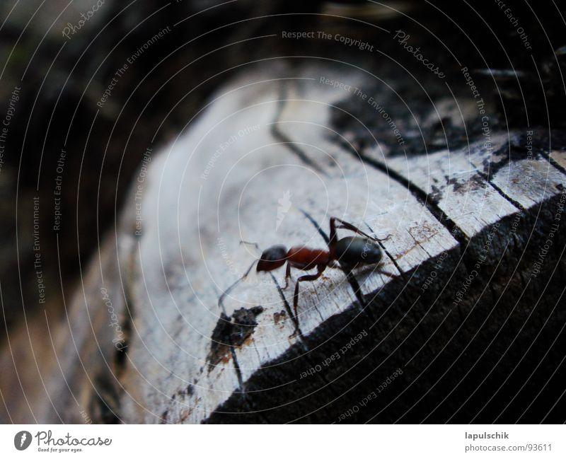 ant Ant Estonia Wood Dark Black Burn Exterior shot Macro (Extreme close-up) Close-up Power