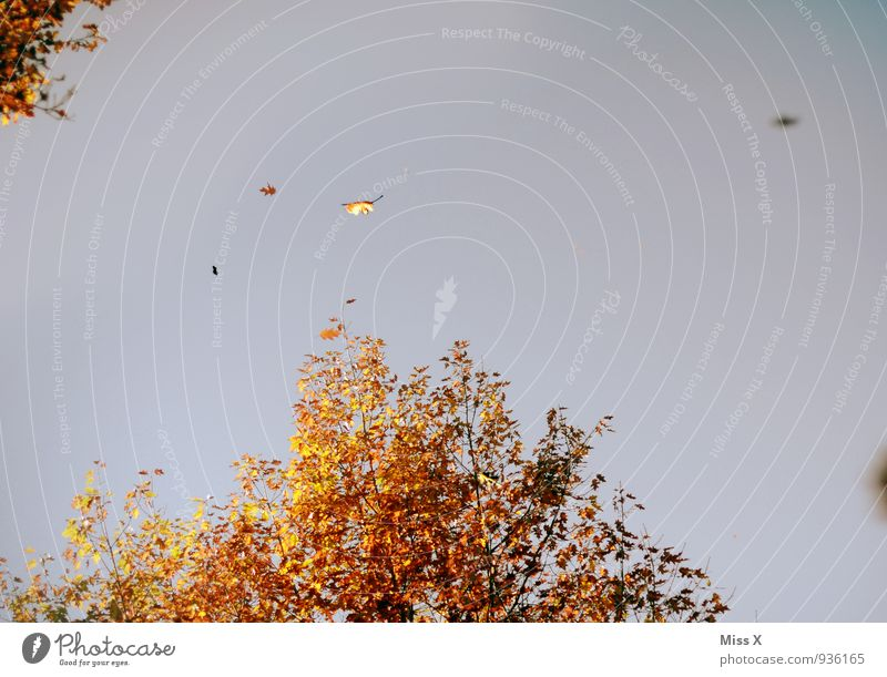 autumn flies away Sky Cloudless sky Autumn Climate Weather Beautiful weather Wind Gale Tree Leaf To fall Flying Warmth Multicoloured Moody Early fall