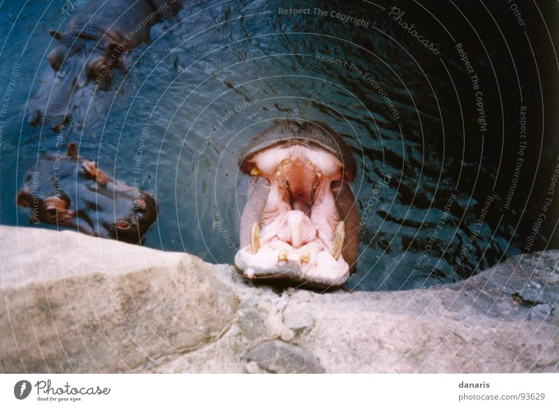 Yawn, I'm tired... Hippopotamus Animal Relaxation Mammal Fatigue River Nutrition Safari Park