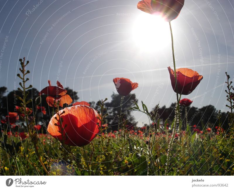 Red Sun Summer Joy Meadow Warmth Grass Blossom Field Physics Poppy Spain Majorca Corn poppy Opium poppy