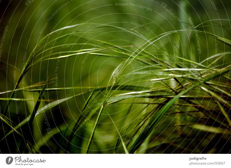 Green Beautiful Plant Summer Colour Meadow Grass Glittering Soft Delicate Pasture Stalk Blade of grass Smooth Flexible Pollen
