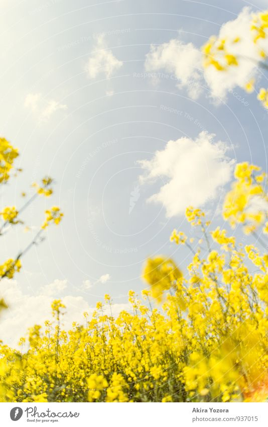 The sky above us Nature Sky Clouds Summer Beautiful weather Plant Flower Blossom Agricultural crop Canola Canola field Field Observe Blossoming Discover