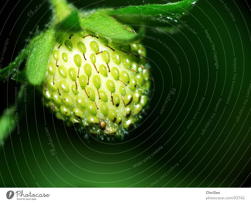 Green Plant Red Nutrition Spring Garden Fruit Strawberry Sense of taste Northern Forest Fruity Immature