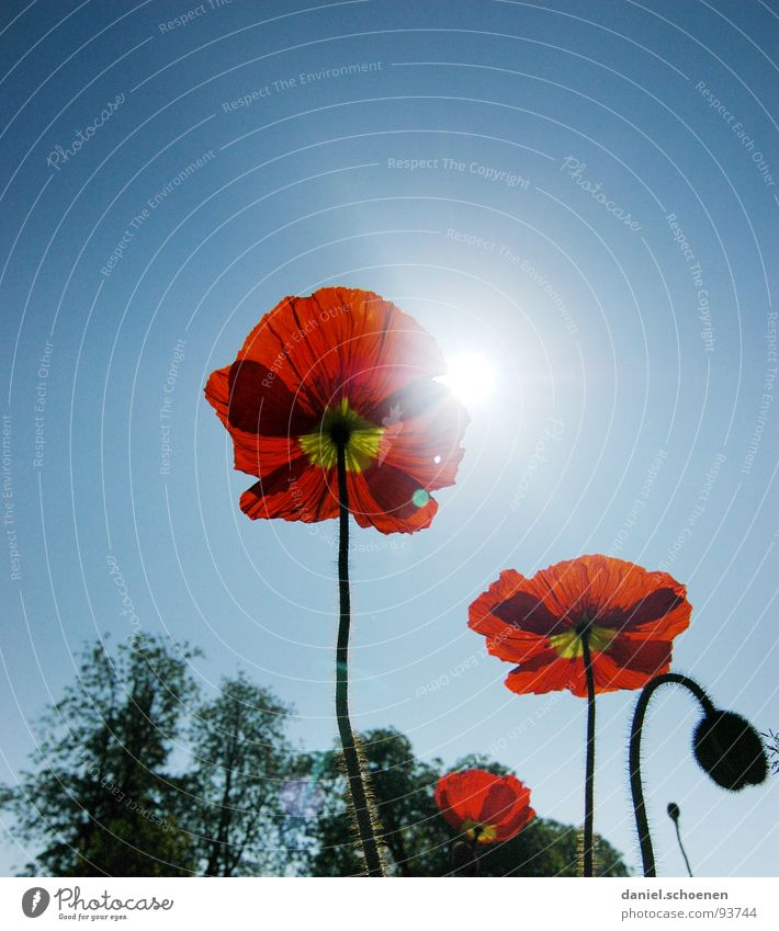 Nature Sky Sun Flower Blue Red Summer Blossom Spring Perspective Poppy Beautiful weather Bud Cyan