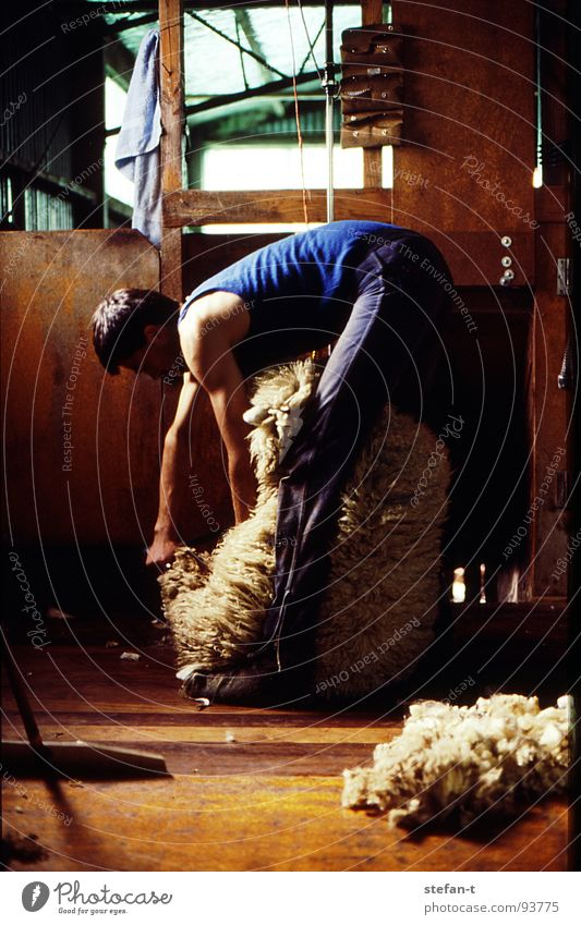 hard working man I New Zealand Work and employment Stoop Sheep Sheep shearing Wool Perspiration Physics Hot Stuffy Effort Pelt Animal New wool Farmer