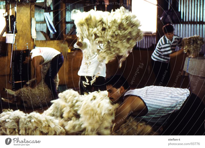 hard working man II New Zealand Work and employment Stoop Sheep Sheep shearing Wool Perspiration Physics Hot Stuffy Effort Pelt Animal New wool Farmer