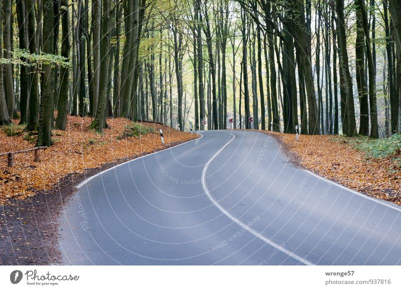 L303 Environment Autumn Tree Beech wood Jasmund Nationalpark Traffic infrastructure Street Country road Brown Green Black Asphalt Curve Median strip