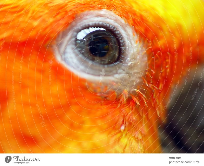 I see you Parrots Yellow Macro (Extreme close-up) Eyes Orange Colour Feather