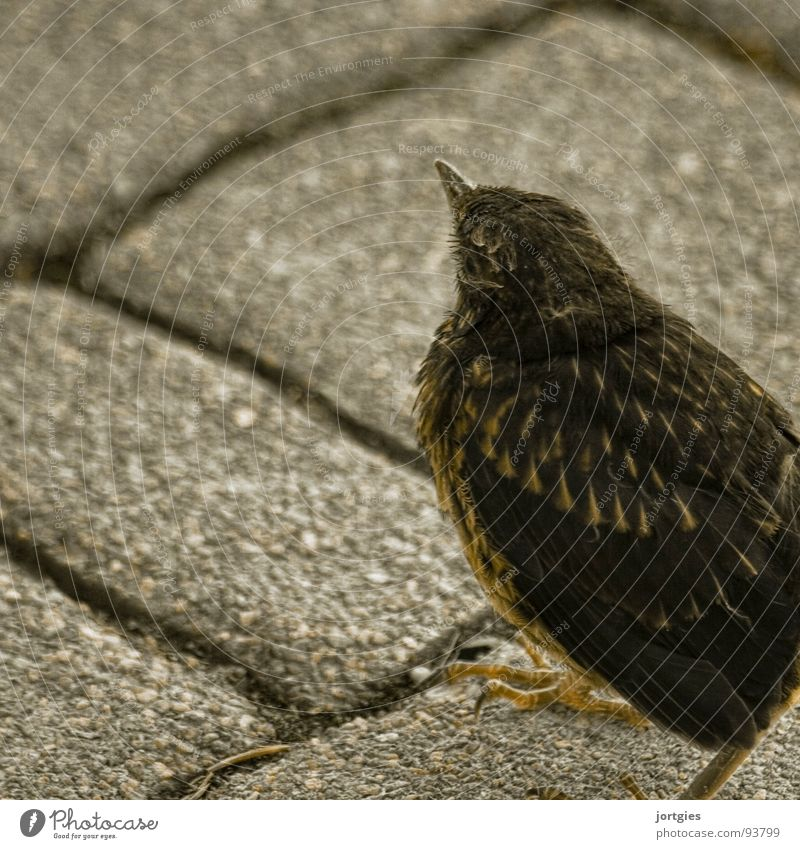 Easy prey Bird Chick Blackbird Throstle Young bird Garden squab chic fledgling backyard cat food