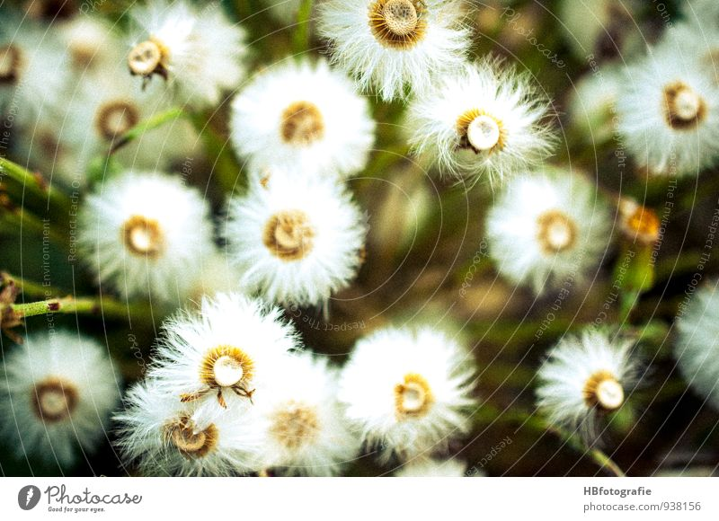 White flowers Nature Plant Flower Blossom Wild plant Meadow Field Spring fever pretty Variable Vacation & Travel Environment Transience Flower meadow Dandelion