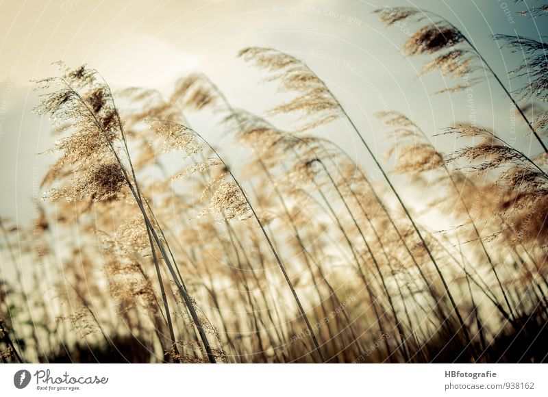 grasses Nature Plant Grass Bushes Foliage plant Meadow Field Lake Brook Faded Brown Moody Warm-heartedness Romance Longing Homesickness Wanderlust Loneliness