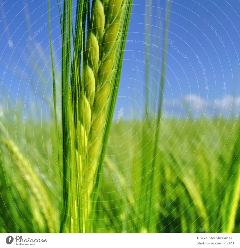 Green barley stem in front of a blue sky Colour photo Barley Detail Exterior shot Deserted Day Sunlight Food Grain Nutrition Renewable energy Nature Plant