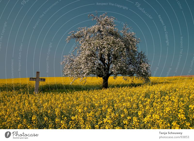 Nature Tree Calm Spring Landscape Back Peace Mystic Canola field