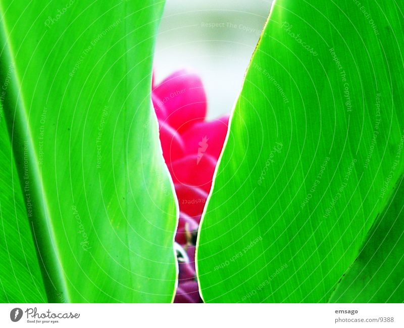 Hidden Flower Plant Close-up Green Red Hawaii Hide Exotic