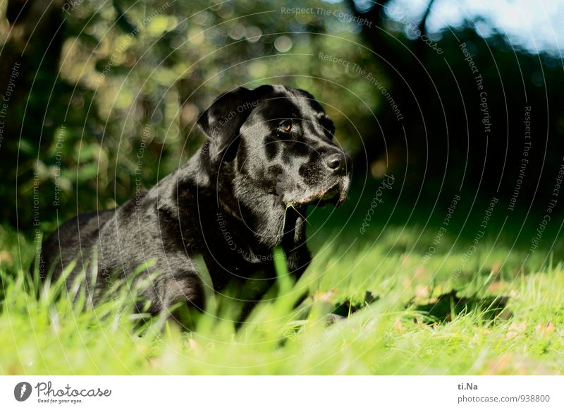 it moves Garden Meadow Pet Dog Labrador 1 Animal Observe Discover Hunting Friendliness Feminine Green Black Turquoise Power Brave Surveillance Exterior shot Day