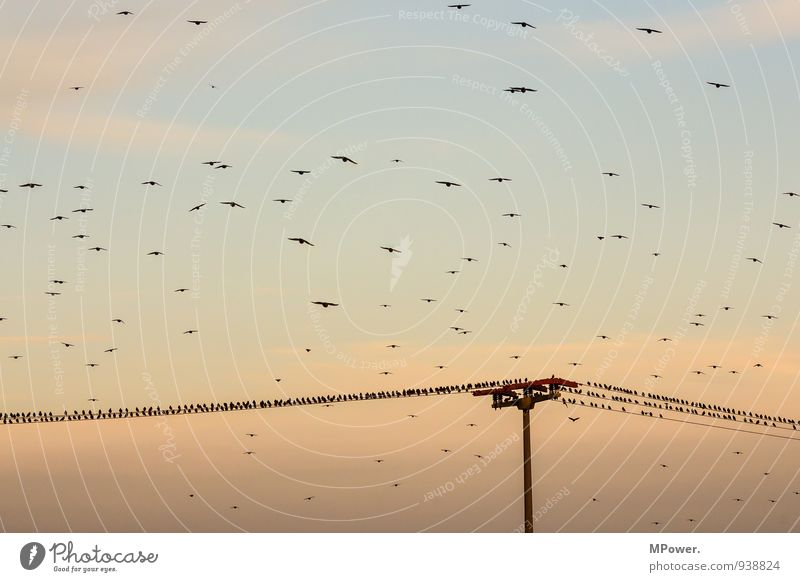 overbooked Group of animals Flock Funny Bird Electricity pylon Evening sun Clouds in the sky Floating Flock of birds Landing Landing Strip Autumn Colour photo