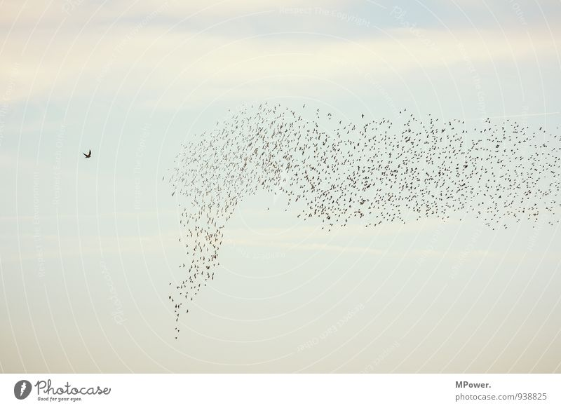 Driving Group of animals Tall Bird Flock Flock of birds Floating Attack Falcon Sky Colour photo Exterior shot Deserted Copy Space top Evening Twilight