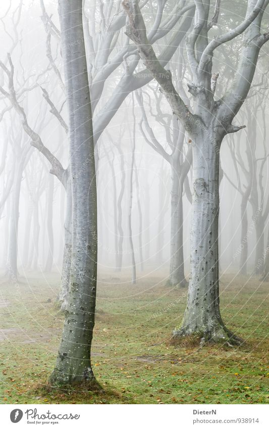 veil Nature Landscape Autumn Weather Fog Tree Grass Forest Gray Green White Beech wood Ghost forest Colour photo Exterior shot Deserted Copy Space left