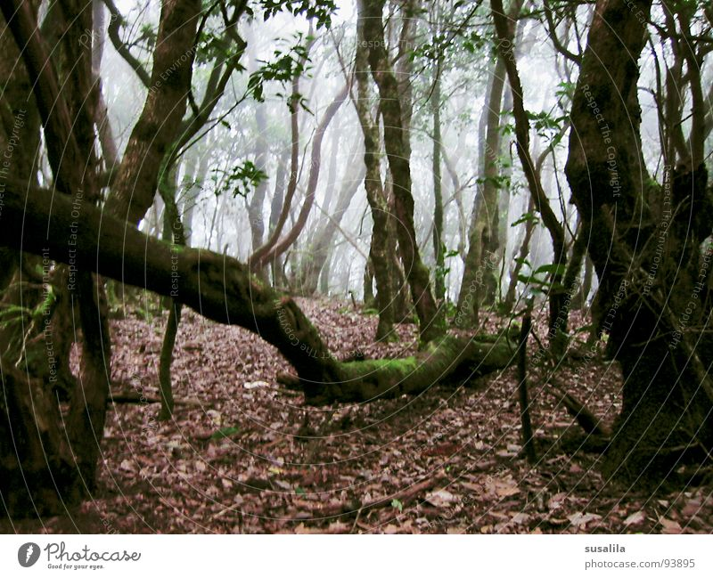 Tree Leaf Forest Mystic Jinxed Gomera