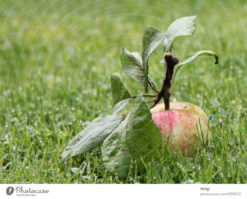 an apple a day... Food Fruit Apple Nutrition Organic produce Environment Nature Landscape Plant Drops of water Autumn Grass Leaf Garden Lie Esthetic Fresh