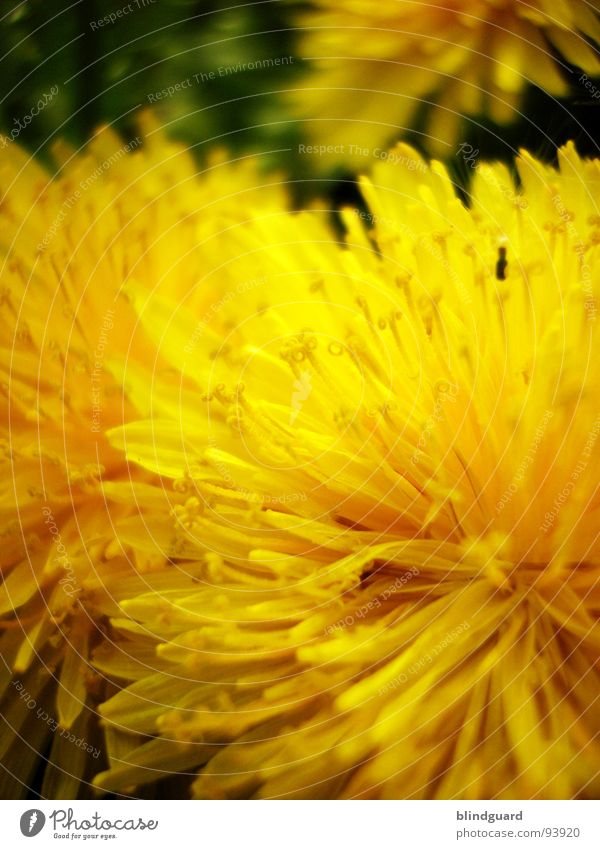 dandelion in season Flower Yellow Summer Sprinkle Macro (Extreme close-up) Blur Plant Dandelion Close-up Spring Peter funny Seed sharp Garden Wild animal